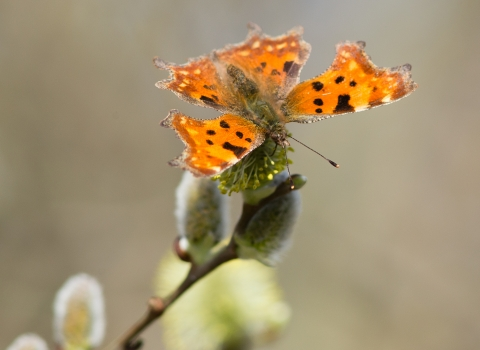 Comma butterfly - Holme Fen
