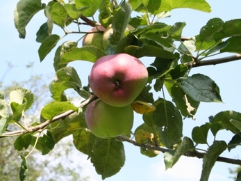 Lady Henniker Palgrave apple growing on a tree
