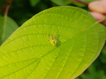 A cucumber spider on the underside of a leaf