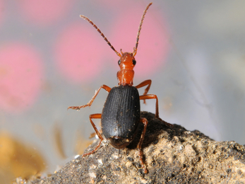 A bombardier beetle looking up from the top of a stone