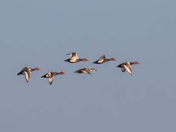 Red-crested pochards in flight against a wintry blue sky