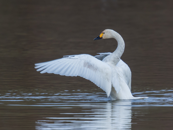 Bewick's swan stretching its wings out on the water