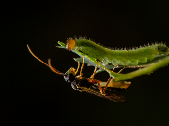 A sawfly larva and a predatory parasitic wasp on opposite sides of a leaf.