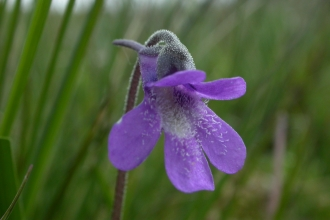 Common Butterwort
