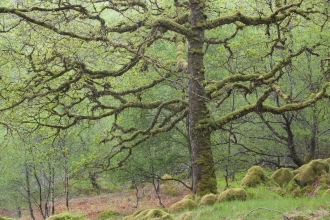 Sessile Oak