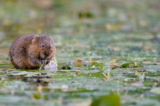 water vole - Tom Marshall