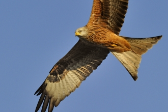 Red kite - Andy Rouse/2020VISION