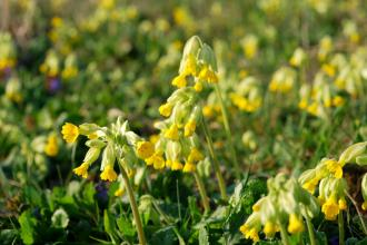 Cowslips in flower