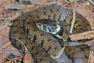 Grass snake coiled on leaf litter