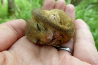 A hibernating dormouse in the hand