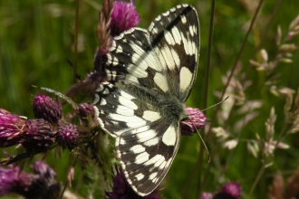 Marbled White butterfly on the Arqiva site