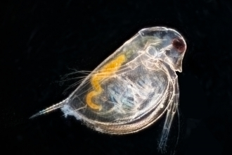 Close up of daphnia