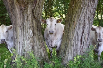 Three curious cows peer out from behind some trees at Ditchford Lakes and Meadows nature reserve
