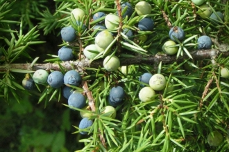 Berries on a juniper tree
