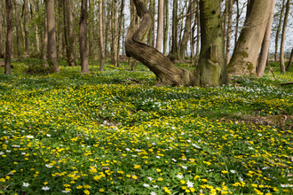 A carpet of lesser celandine flowers at Old Sulehay Forest