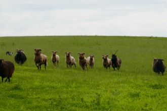 Manx Loaghtan sheep at Pegsdon Hills by Caroline Fitton