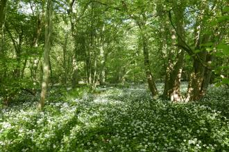 Wild garlic at Old Sulehay Forest