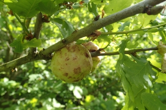 Oak apple gall by Sarah Gibbs