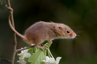 A harvest mouse on hawthorn with its tail curled around the stem