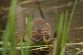 Water vole Philip Precey