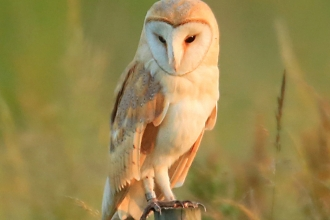 Barn owl on a post in summer