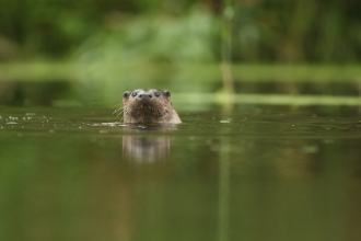 Otter swimming in a river
