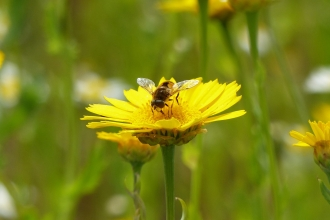 Hoverfly on corn marigold
