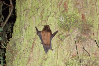 A noctule clinging to the bark of a tree