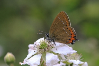 Black hairstreak butterfly