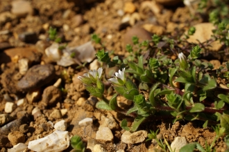 Dwarf mouse-ear, Cerastium pumilum by Tony Vials