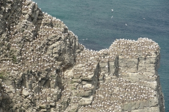 Seabirds nesting on a coastal cliff