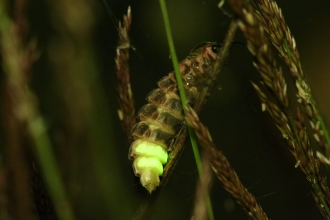 Glow worm credit Chris Loades