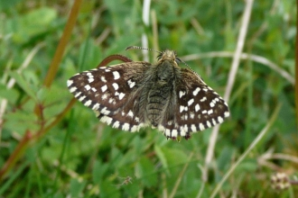 A grizzled skipper perched on grass