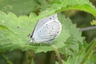 Holly blue butterfly sitting on a nettle leaf