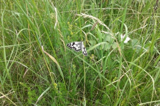 Marbled White butterfly in the grass