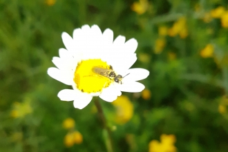 An ox-eye daisy with a bug crawling on it