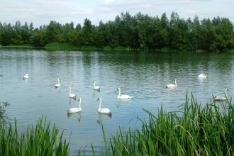 Swans at Summer Leys