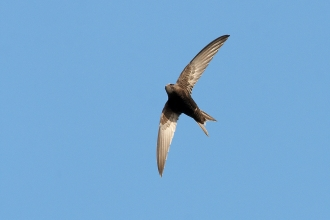 A swift flying in midair against a blue sky