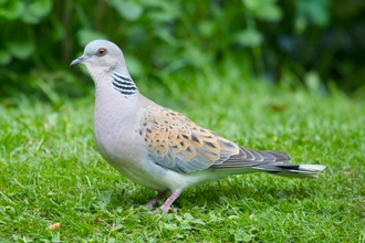 Turtle dove on the grass