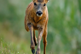 A young roe deer leaping, looking straight at the camera