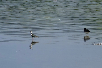 Lapwing and oystercatcher by Caroline Fitton
