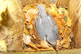 A nuthatch in a nestbox