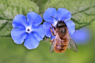 A red mason bee on a purple flower