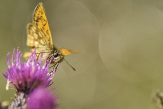 Chequered skipper on thistle