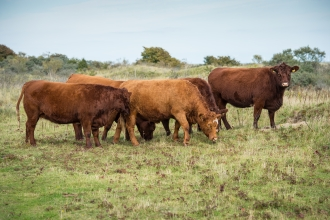Conservation cattle grazing