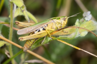 Omocestus viridulus, Common Green Grasshopper - Brian Eversham