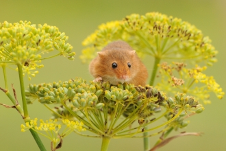 Mammal - Harvest mouse