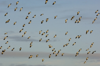 Flock of lapwings - Andrew Parkinson/2020Vision