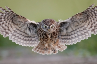 A little owl in flight, head on