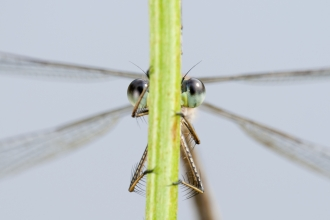 An Emerald Damselfly seen from the other side of a stem with its eyes peeking either side